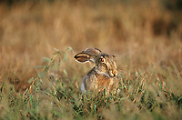 650228068 a wild black-tailed jackrabbit lepus californicus sits in wild grasses in a field in the lower rio grande valley of south texas united states