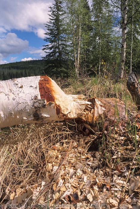 Alaska birch tree lays fallen after a beaver chewed through its trunk, interior Alaska
