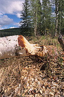 Alaska birch tree lays fallen after a beaver chewed through its trunk, interior Alaska