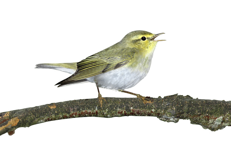 Wood Warbler - Phylloscopus sibilatrix. L 11-12cm. Colourful warbler with a distinctive song and precise habitat requirements. Sexes are similar. Adult and juvenile have olive-green upperparts, bright yellow throat and supercilium, and clean white underparts. Note dark eyestripe and pale pink legs. Voice Utters a sharp tsip call. Song (likened to a coin spinning on a plate) starts with ringing notes and accelerates to a silvery trill. Status Locally common summer visitor to mature woodlands with tall trees, limited ground cover and closed canopy; Sessile Oak woods in W and N are favoured, and Beech woods elsewhere.