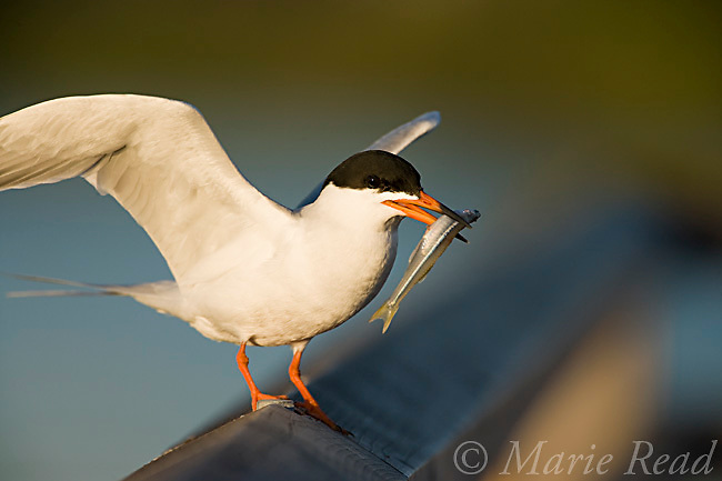 Forster's Tern (Sterna forsteri) with outspread wings, holding a fish, Bolsa Chica Ecological Reserve, California, USA