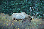 A Rocky Mountain elk browses in the mountains in evening light.