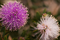 A close-up of the purple and white flowers of Melaleuca Nesophila, a popular native garden plant in South Australia