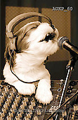 Samantha, ANIMALS, REALISTISCHE TIERE, ANIMALES REALISTICOS, funny, photos+++++Singing Dog master,AUKP60,#a#