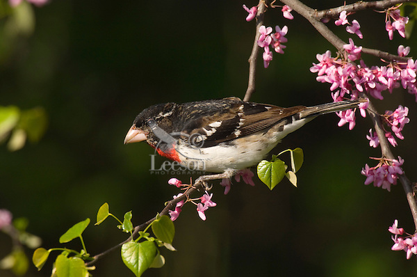 Male ROSE-BREASTED GROSBEAK (Pheucticus ludovicianus) in redbud tree.  Spring.
