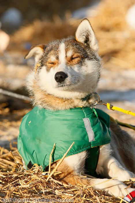 """Saturday  March 13 , 2010  Quinn Iten's dog """"Beavis"""" rests in the sun on straw at the village checkpoint of Ruby"""