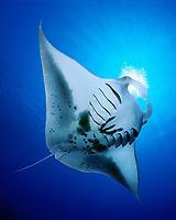 reef manta ray, feeding on plankton, Manta alfredi, Kona Coast, Big Island, Hawaii, USA, Pacific Ocean (dc)