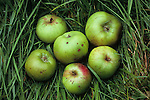 Six large green and red cooking apples with some blemishes lying in long grass