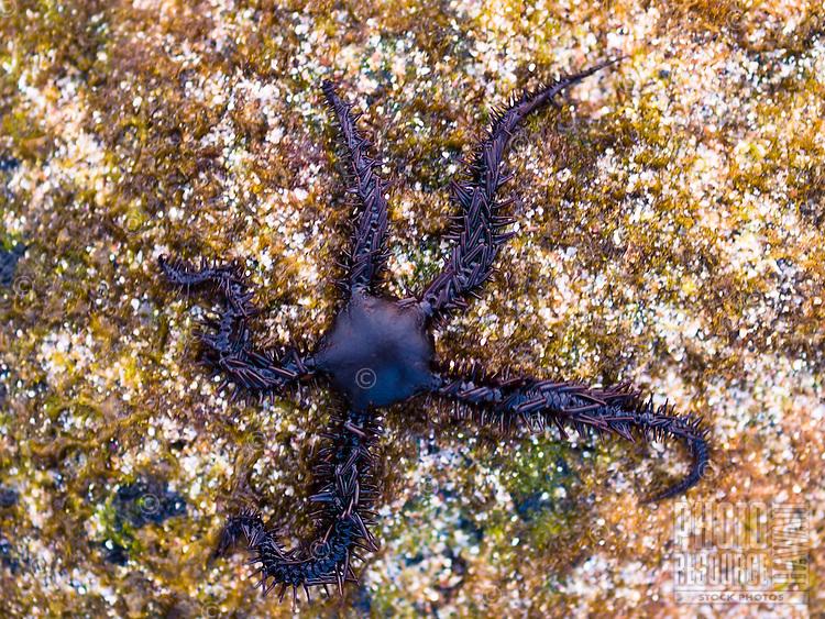 A brittle star found along the coastline of Kailua-Kona, Big Island.