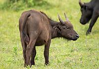 Cape Buffalo calf, Syncerus caffer caffer, in Arusha National Park, Tanzania