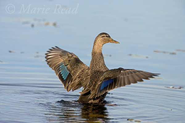 American Black Duck (Anas rubripes) adult flapping its wings, Montezuma National Wildlife Refuge, New York, USA