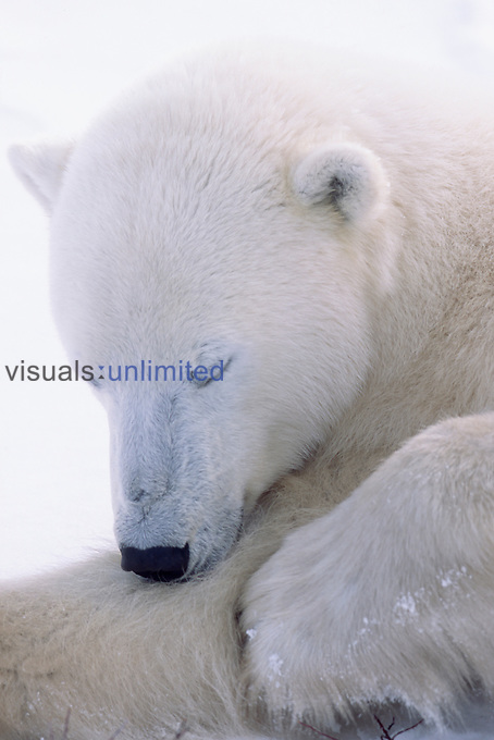 Polar Bear sleeping (Ursus maritimus) Churchill, Manitoba, Canada