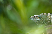 We saw a number of these large lizards in Carara National Park.