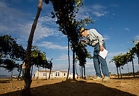 "erath  160436 8/30/09-  Dick Erath (CQ) walks through his Cimarron Vineyeard (CQ) near Wilcox sampeling grapes to see if they are ready for harvest. . Erath's grapes are made into wine at Bostock's Dos Cabezas WineWorks in Sonoita. When Dick Erath sold his namesake Oregon winery, he thought he was going to retire quietly to the desert in southern Arizona. After all, starting Oregon's wine industry should have been enough for one man. But he couldn't help himself. He planted a few vines in his backyard for fun. ""I had to do something besides play golf,"" he said. Then he started studying the terrain and soil around southeast Arizona and became convinced his new home provided one of the best climates for grape growing on the planet.. (Pat Shannahan/ The Arizona Republic)"