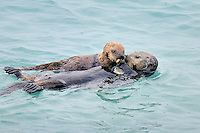 Alaskan or Northern Sea Otter (Enhydra lutris) mother sharing food with her baby/pup.