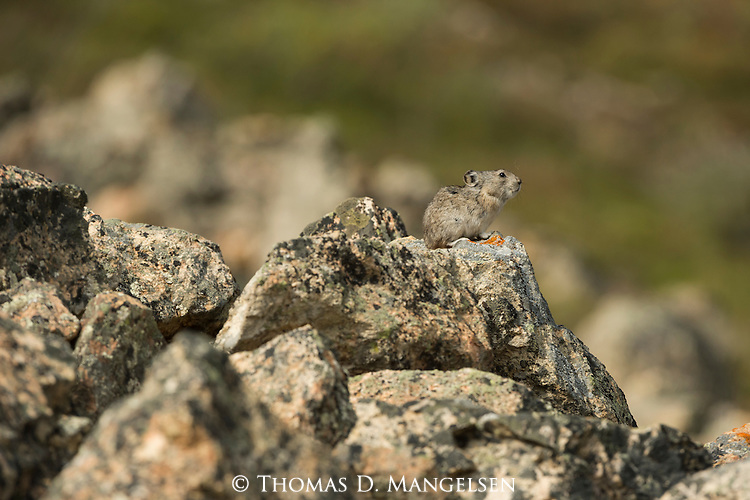 A collared pika pauses on a rock in Denali National Park, Alaska.