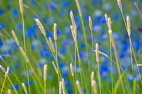 Bachelor buttons in field with grasses. The Palouse, Washington