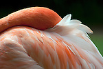 vibrant pink caribbena flamingo with face and beak resting in feathers