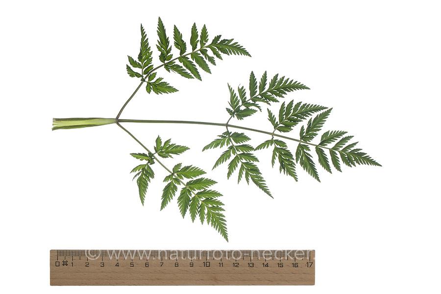 Wiesen-Kerbel, Wiesenkerbel, Anthriscus sylvestris, wild chervil, wild beaked parsley, keck, Queen Anne's lace. Blatt, Blätter, leaf, leaves