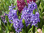 Blue Dutch Hyacinths, Hyacinthus orientalis mix