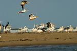 pélicans blancs et pélicans gris sur l'ile aux oiseaux..Sénégal. Delta du Saloum.Sénégal. Delta du Saloum