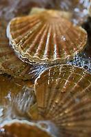 Europe/France/Bretagne/29/Finistère/Lannilis/Prat Ar Coum: Coquilles Saint-Jacques dans les viviers d' Yvon Madec