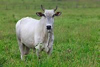 Fazenda de gado na estrada PA 136, de Castanhal para Curuçá.<br /> Pará, Brasil.<br /> Foto Paulo Santos