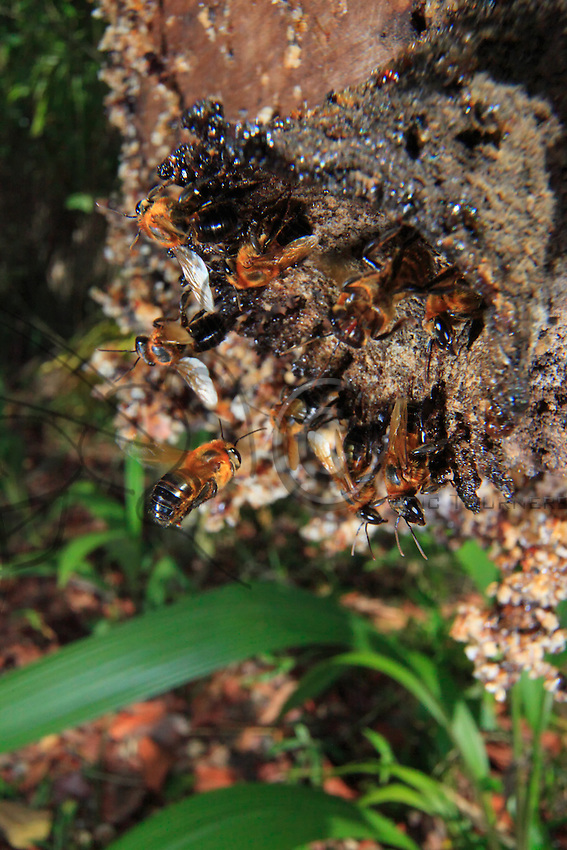 Brazil, State of Pará, Belém, at the Embrapa station. The coming-and-going at the entrance to an experimental hive of Melipona seminigra bees.