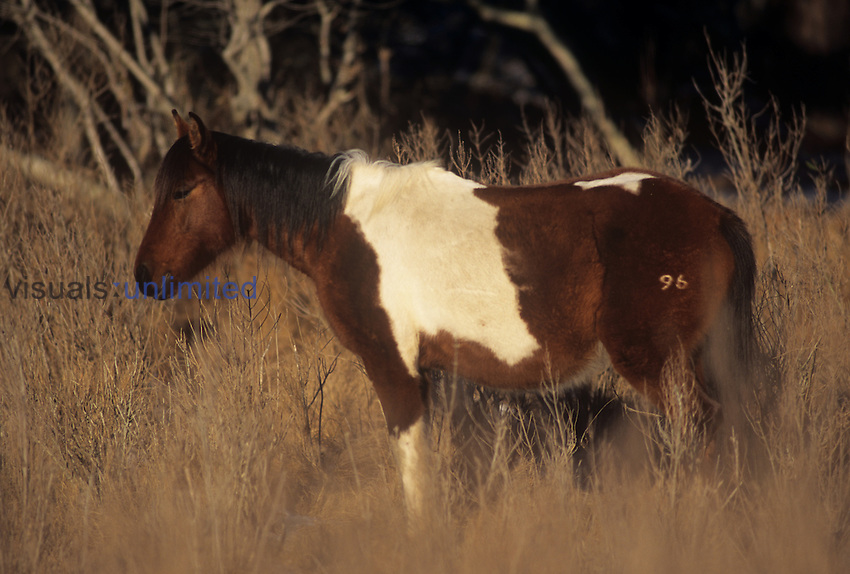 Chincoteague Pony (Equus caballus) branded with number 96, Chincoteague National Wildlife Refuge, Virginia, USA.