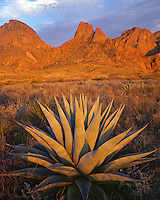 Sunset glow on the Chisos Mountains and an agave; Big Bend National Park, TX