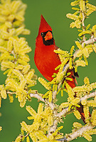 Northern Cardinal, Cardinalis cardinalis,male on blooming Blackbrush Acacia (Acacia rigidula) , Lake Corpus Christi, Texas, USA