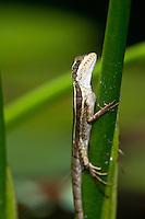 Brown or Striped Basilisk (Basiliscus vittatus), Bocas del Toro, Colon Island, Panama
