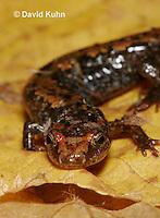 0604-0840  Mountain Dusky Salamander, Desmognathus ochrophaeus  © David Kuhn/Dwight Kuhn Photography