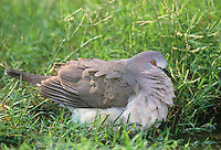 518238009 a wild adult white-tipped dove leptotila verreauxi sits by a small pond rousting its feathers in the rio grande valley of south texas