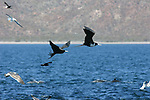 frigate birds and dolphins in the Gulf of California