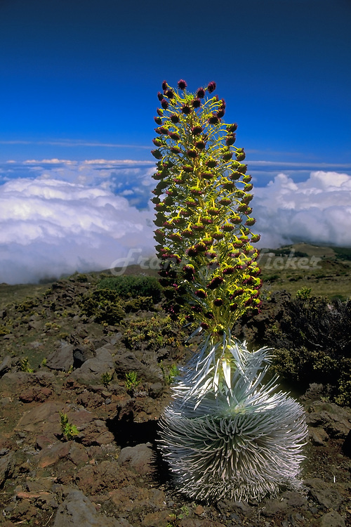 A full grown Silversword in HALEAKALA NATIONAL PARK on Maui in Hawaii