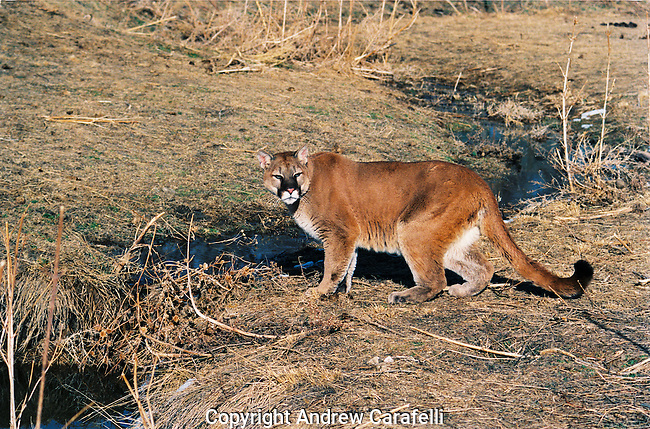 A mountain Lion in Colorado stops to take a quick drink in a stream, always wary of its surroundings.