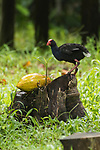 Tetepare Island, Solomon Islands; an adult Australasian swamphen (Porphyrio melanotus) standing on a tree stump, feeding on a papaya