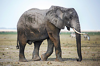 An elephant grazes in Amboseli National Park in Kenya.  01/24/2017 IFAW/Julia Cumes