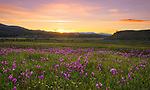 Idaho, Southcentral, Stanley. A meadow of shooting stars in the Stanley Valley at sunset.