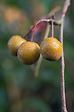 Fruit of Pyrus pashia, late October. Sometimes also known as Himalayan, Afghan or Indian wild pear.