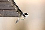 Black-capped chickadee sipping melting snow