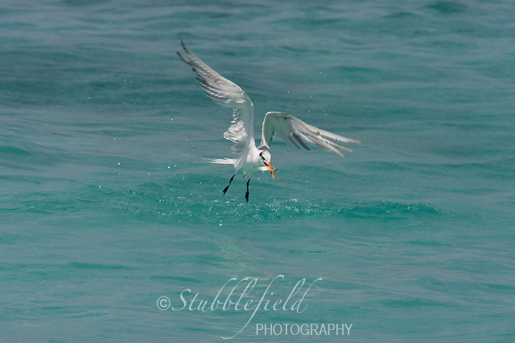 Royal Tern (Thalasseus maximus maximus), rising out of the water after catching a fish.