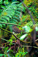 The small Kauai thrush or puaiohi, (myadestes palmeri). This rare bird is found on Kauai only.