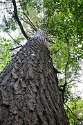 Bark of mature hemlock tree during the summer months in the area of the Deer Brook drainage of Albany, New Hampshire USA.