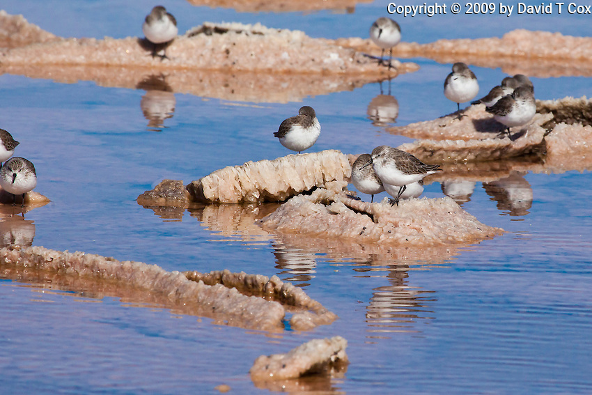 Western Sandpipers, Guerrero Negro, Baja Sur, Mexico