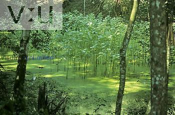 Pond and interior of a tropical rainforest, Belize.