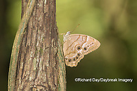 03481-00103 Southern Pearly-Eye (Enodia portlandia) Big Oak Tree State Park Mississippi County, MO