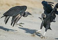 black vulture, Coragyps atratus, feeding on leatherback sea turtle hatchling, Dermochelys coriacea, Grand Riviere, Trinidad, Trinidad and Tobago, Caribbean Sea, Atlantic Ocean