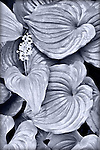 Black and white hostas